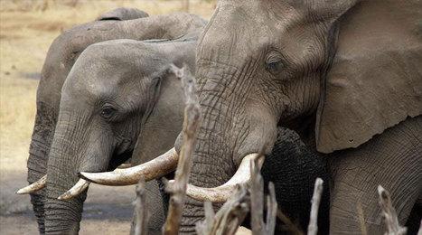 Afrique centrale : l'ONU appelle à une lutte vigoureuse contre le phénomène du braconnage | Biodiversité | Scoop.it