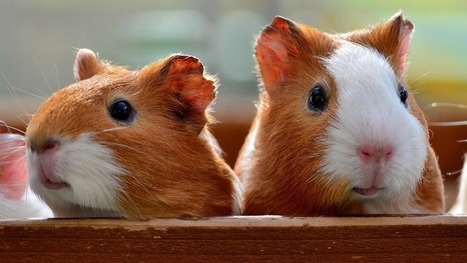 Adorable guinea pigs travel in neat, orderly lines at a Japanese zoo   St. Pepe De Porcine   Scoop.it