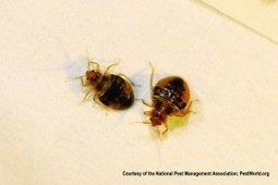 Bed Bugs Are Back! Resurgence Strikes North Arkansas & South Missouri | Bed Bugs | Scoop.it