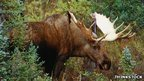 Driver dodges moose but hits bear | Natural Fears | Scoop.it