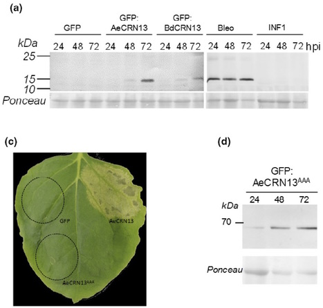 New Phytologist: CRN13 candidate effectors from plant and animal eukaryotic pathogens are DNA-binding proteins which trigger host DNA damage response (2015) | Plants and Microbes | Scoop.it