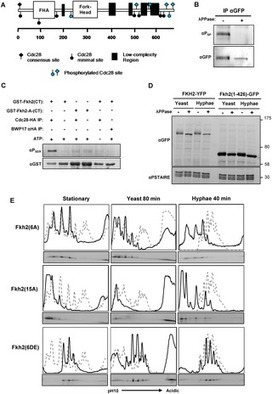 Cell Cycle-Independent Phospho-Regulation of Fkh2 during Hyphal Growth Regulates  Candida albicans  Pathogenesis | Host Cell & Pathogen Interactions | Scoop.it