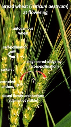 Hybrid wheat [Agricultural Sciences] | plant cell genetics | Scoop.it
