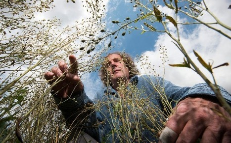 First GM crops enriched with nutrients ready for harvest  - Telegraph | Erba Volant - Applied Plant Science | Scoop.it
