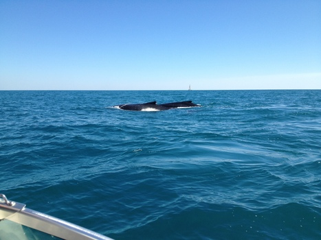 Humpback Whales: Hervey Bay | OHS in the Paramedic World | Scoop.it