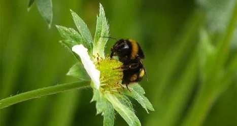 Lallemand trouve une nouvelle parade pour la pourriture grise | apiculture 2.0 | Scoop.it
