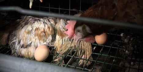Maltraitance animale: l'élevage de poules pondeuses dans l'Ain devra être vidé - le Monde | Actualités écologie | Scoop.it