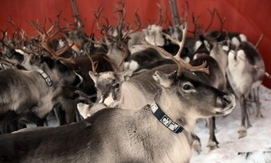 Reindeer herders, an app and the fight to save a language - The Guardian | Language News | Scoop.it
