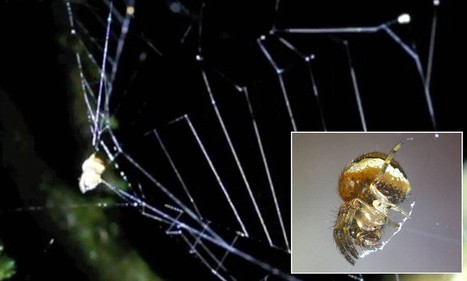Amazing video reveals how an Amazonian spider uses its web as a SLINGSHOT ... - Daily Mail | Rainforest EXPLORER:  News & Notes | Scoop.it