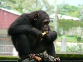 Cameroon chimps face serious climate change threat | GarryRogers NatCon News | Scoop.it