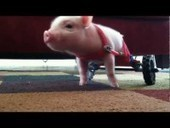 Disabled Pig Gets Wheels from Nashua, Fame from YouTube - Patch.com | reasearch in the disabled world | Scoop.it