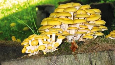 Jardin, balcon, cave: les champignons, ça se cultive ! | Confidences Canopéennes | Scoop.it