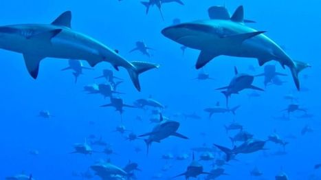 How a huge school of sharks 'flips the food pyramid' - BBC News | GMOs & FOOD, WATER & SOIL MATTERS | Scoop.it