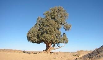 Saharan Cypress - Global Trees   Erba Volant - Applied Plant Science   Scoop.it