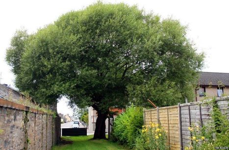 200-year-old Carnoustie Dibble Tree set to be protected - BBC News | CW | Scoop.it