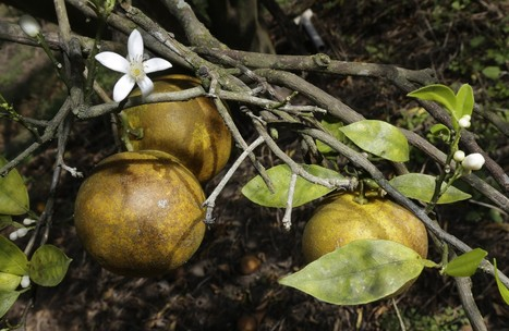Florida citrus growers worry that deadly bacteria will mean end of orange juice   Sustain Our Earth   Scoop.it
