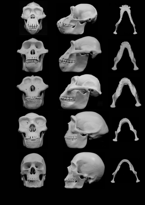 Did violence shape our faces? | Human Evolution | Scoop.it