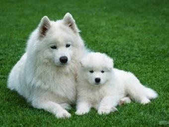 Chăm sóc chó Samoyed đúng cách - Thức ăn cho thú cưng | nanapet | Scoop.it