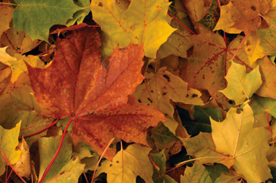 Climate Change and Fall Foliage: Not a Good Match - Living Green Magazine | Climate change challenges | Scoop.it