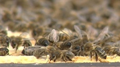 Mite helps virus to wipe out bees | Sustain Our Earth | Scoop.it