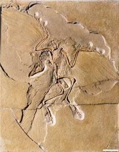 Actualité > L'archéoptéryx aurait pu voler avec ses plumes noires | 21st Century Innovative Technologies and Developments as also discoveries, curiosity ( insolite)... | Scoop.it