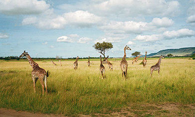 The Masai Mara: 'It will not be long before it's gone' | Guardian Sustainable Tourism | Scoop.it