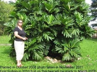 Breadfruit Trees are 'Trees That Feed' and Create Jobs in Jamaica | Vertical Farm - Food Factory | Scoop.it