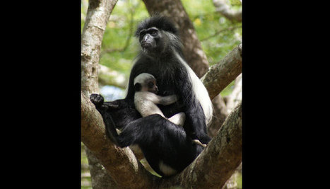 A Colobus Monkey and a Gap Year. - Worldwide Experience | Worldwide Experience | AnimalConservation | Scoop.it