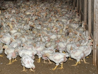 """Report tallies """"Big Chicken"""" toll on Bay   Food and Nutrition   Scoop.it"""