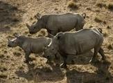 Saving the rhino with US military drones | Rhino poaching | Scoop.it