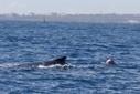 Associations de défense de l'environnement - Une géante des mers victime d'une drum line : | Environnement et DD | Scoop.it