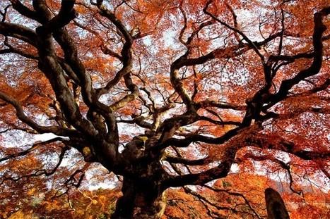 À la rencontre des géants de la forêt automnale | JAPON youkoso | Scoop.it