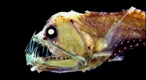 Deep sea fish remove a million tonnes of CO2 every year from UK and Irish waters - SCUBA News | SCUBA | Scoop.it