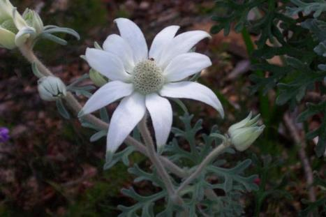 Amazing greys | Australian Plants on the Web | Scoop.it