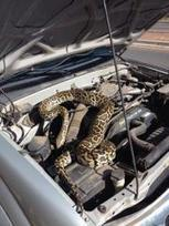 Driver of stalled pickup finds slithering surprise | In Today's News of the Weird | Scoop.it