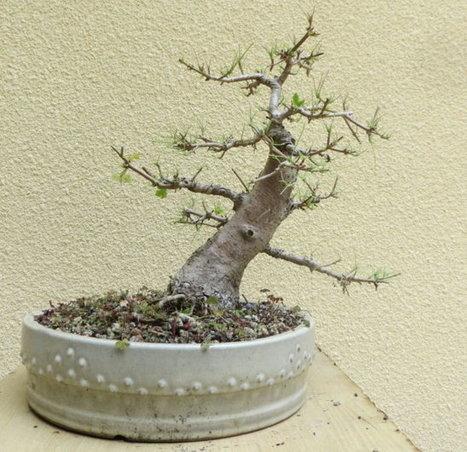 La défoliation | Bonsai365 | BONSAI365 | Scoop.it