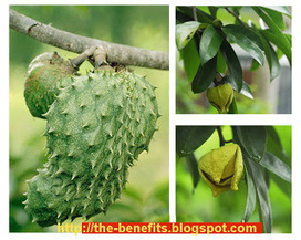 the benefit of: Soursop leaf - 1000 x more powerfull compared with chemotherapy | Benefits of | Scoop.it