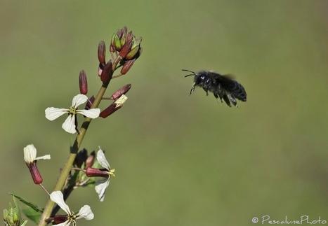 Pescalune Photo : Abeille charpentière (Xylocopa violacea) | Les colocs du jardin | Scoop.it