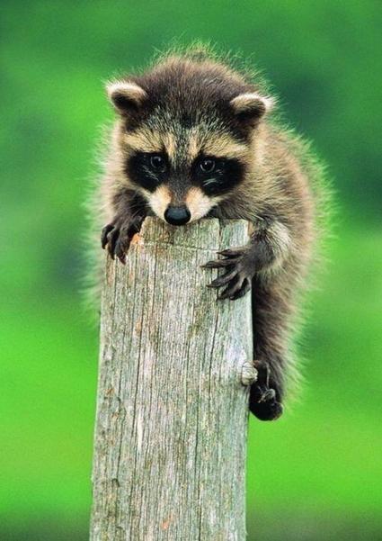 Twitter / EmrgncyNewborns : little raccoon http://t.co/cwyBuhSlQd | Raccoons | Scoop.it