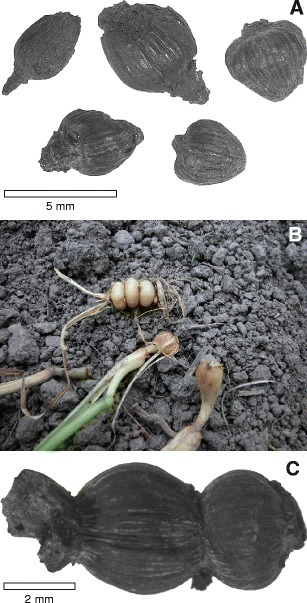 Evaluating prehistoric finds of Arrhenatherum elatius var. bulbosum in north-western and central Europe with an emphasis on the first Neolithic finds in Northern Germany | Archaeobotany and Domestication | Scoop.it