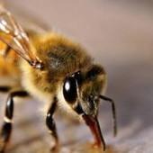 El positivo efecto de las abejas en las frutillas | Apicultura Investigación | Scoop.it
