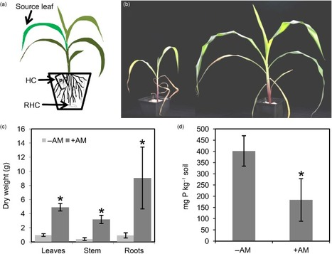 An integrated functional approach to dissect systemic responses in maize to arbuscular mycorrhizal symbiosis | MycorWeb Plant-Microbe Interactions | Scoop.it
