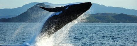 Chasse à la baleine : le Japon persiste et signe | Communiqu'Ethique sur la santé et celle de la planette | Scoop.it