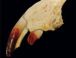Prehistoric Transylvanian mammal had red teeth | Quite Interesting News | Scoop.it