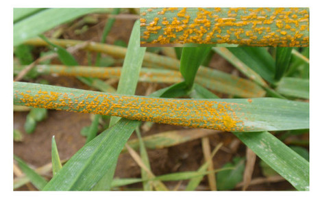 Field Distribution of Wheat Stripe Rust Latent Infection Using Real-Time PCR | Plant Pest Modeling | Scoop.it