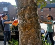 Mapping the trees of New York, one by one | green streets | Scoop.it