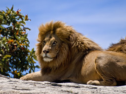 Place Lions on the Endangered Species List | GarryRogers NatCon News | Scoop.it