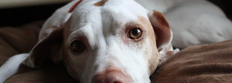 Cómo saber si mi perro tiene moquillo | Universo Mascota | Scoop.it