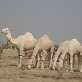 Dairy Camel ~ Transforming from Desert Ecosystem to Modern Farming | Agriculture, Climate & Food security | Scoop.it