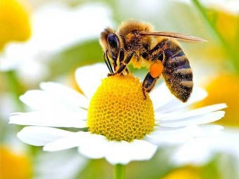 BBSRC funded: Wild bees 'just as important as honeybees' for pollinating food crops | BIOSCIENCE NEWS | Scoop.it
